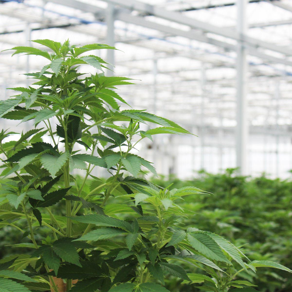 Hemp plants in a greenhouse