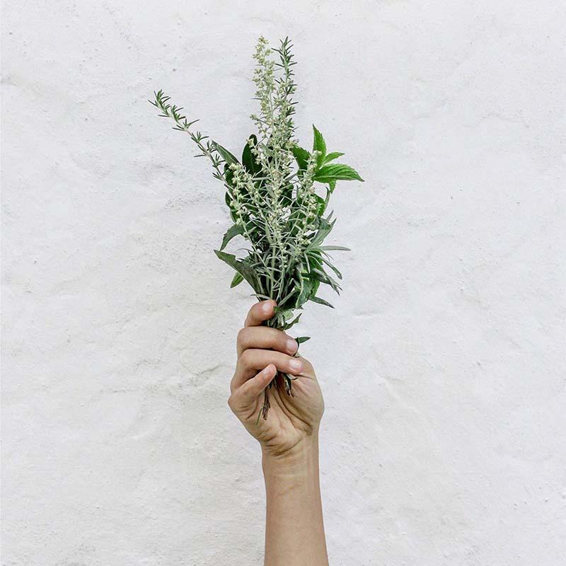 Hand holding a hemp plant